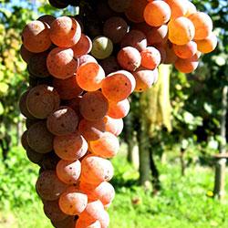 Собствено, ръчно брано грозде